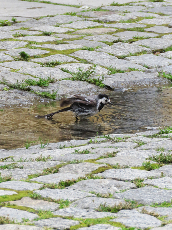 wagtail-2