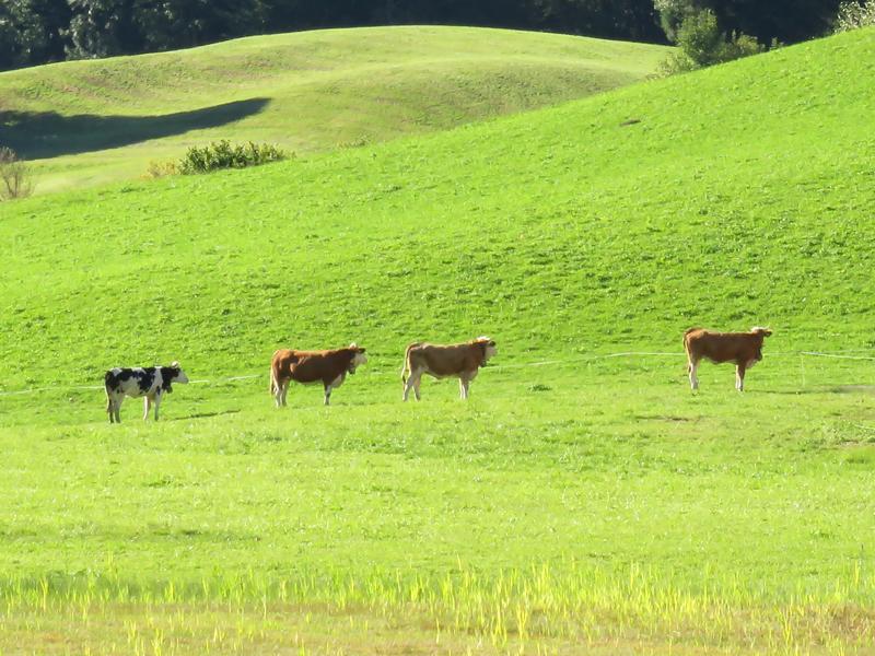 hopeful-cows-1