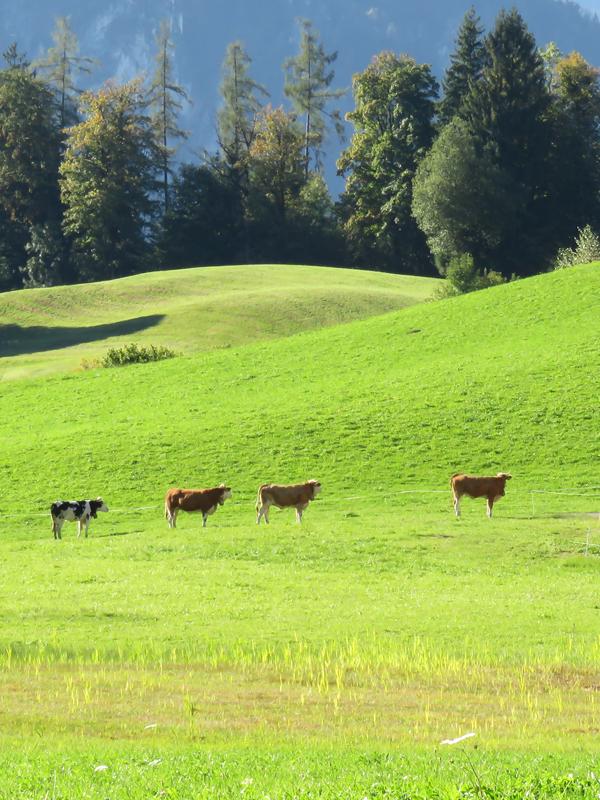 hopeful-cows