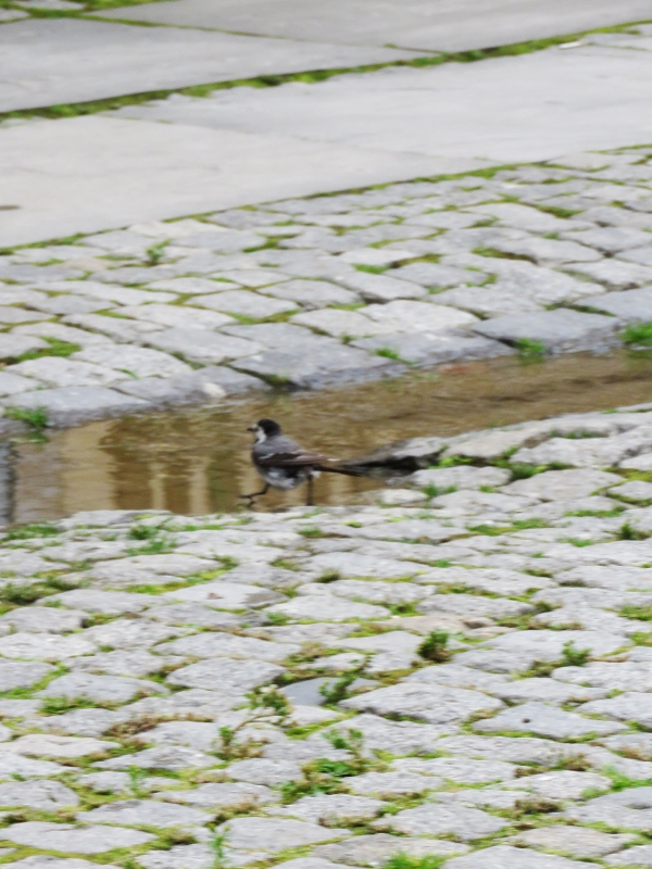 wagtail-1