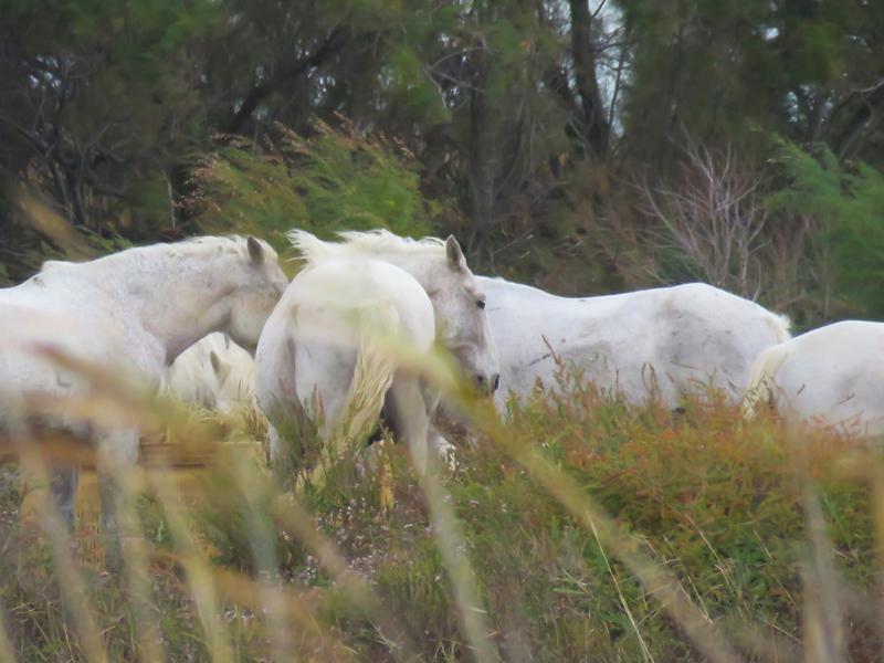camargue-horses-1