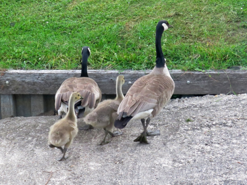 canadian-geese2