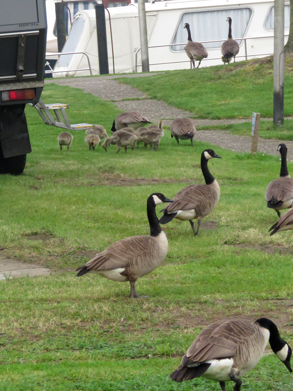canadian-geese4