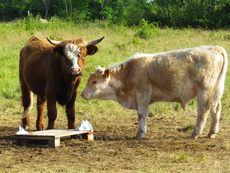 cows-at-bird-sanctuary-1
