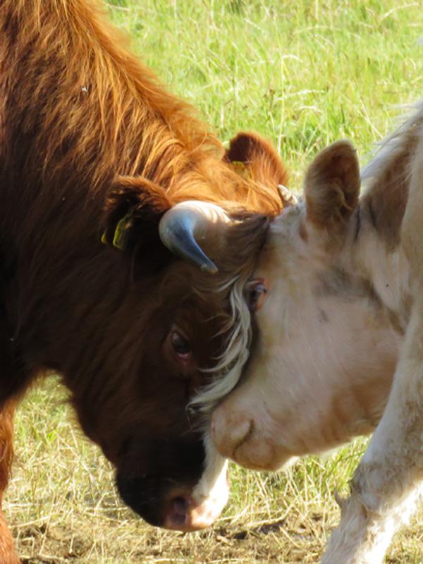 cows-at-bird-sanctuary-2