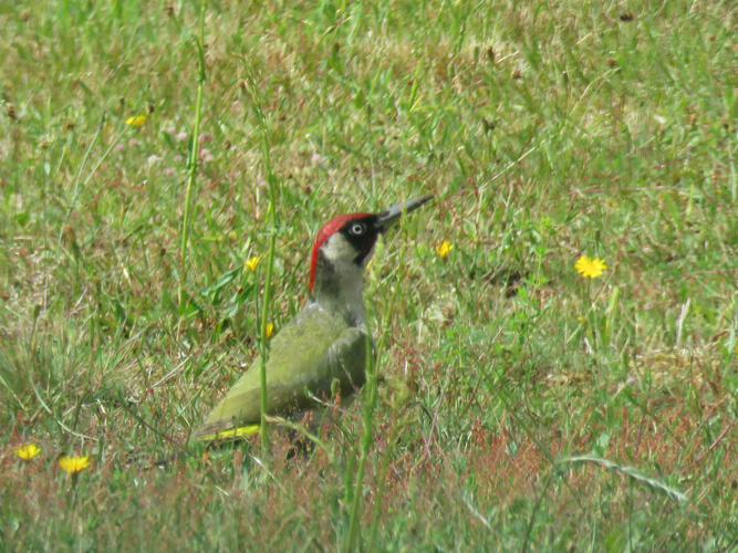 green-woodpecker-1