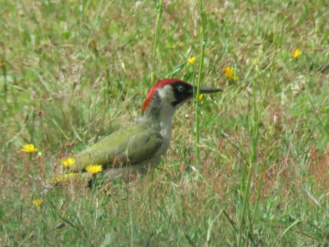 green-woodpecker-3