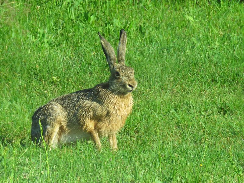 hare-3jpg