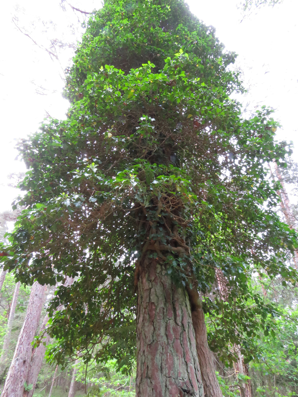 ivy-on-tree-1