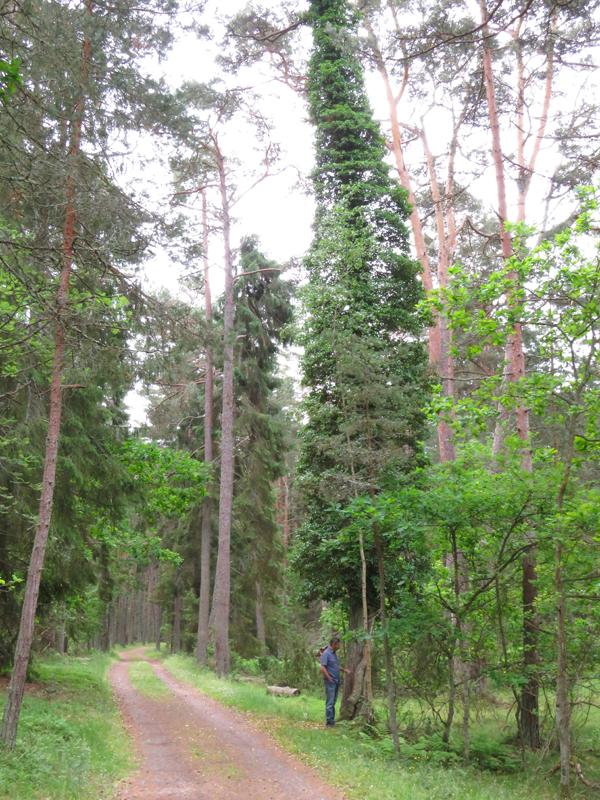 ivy-on-tree-2