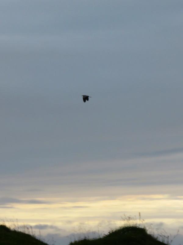 lone-heron