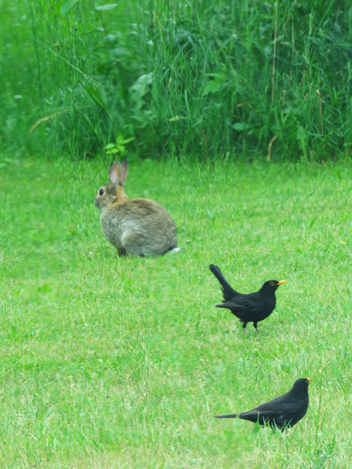 rabbit-and-blackbirds