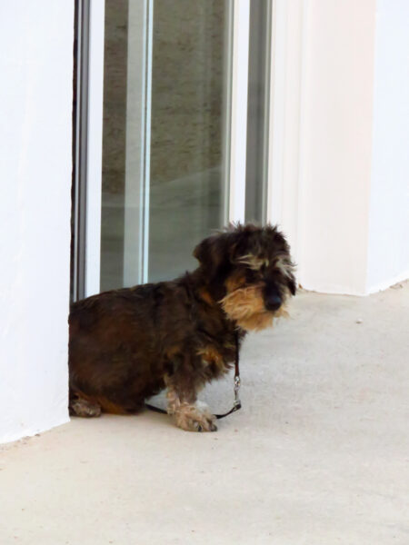 Cute deaf little dog sitting in the doorway to reception at the site at Altea.
