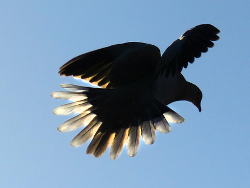 2a Doves