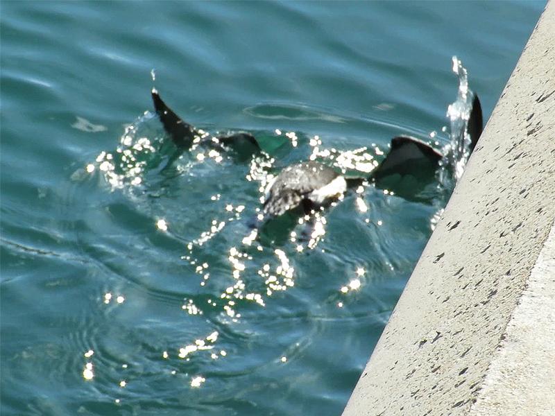 30c Bird flying underwater 03