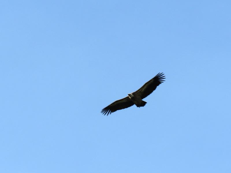 04c Casares Griffon Vulture