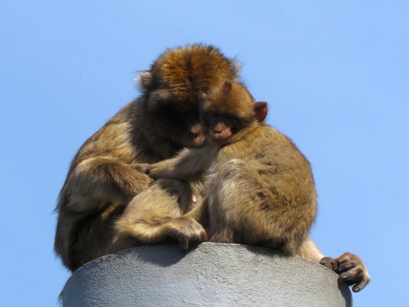 08 Barbary Ape