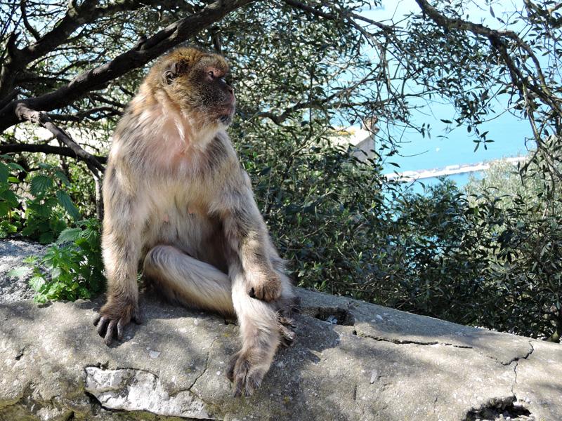 13 Barbary Ape