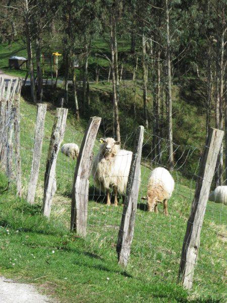 Musical sheep.