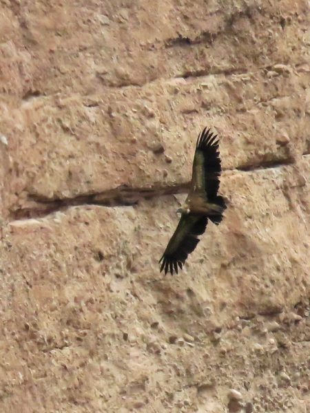 So wonderful to see these Griffon Vultures riding on the thermals.