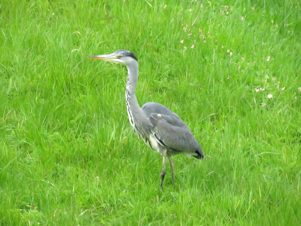 This heron stood so still he could have worked as a 'living statue'.