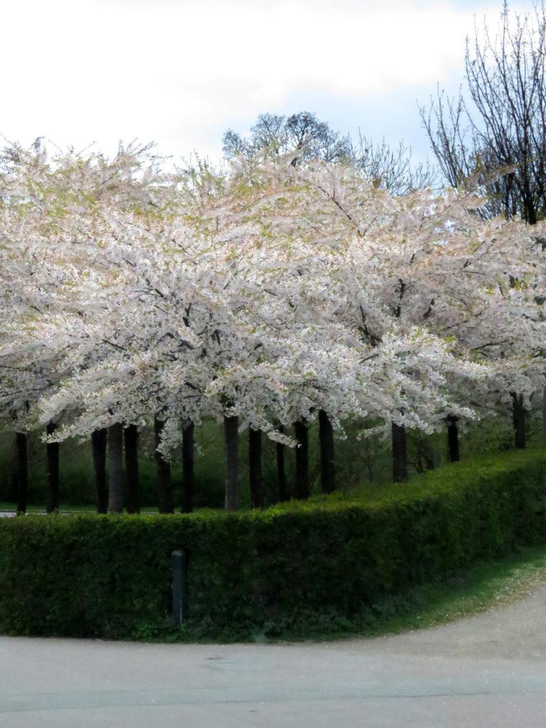 The cherry blossom looks stunning.