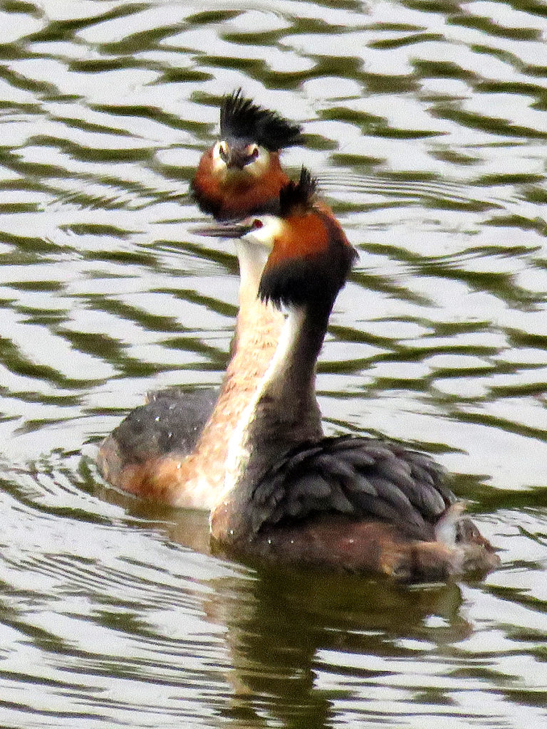 The crested grebes were 'dancing'.