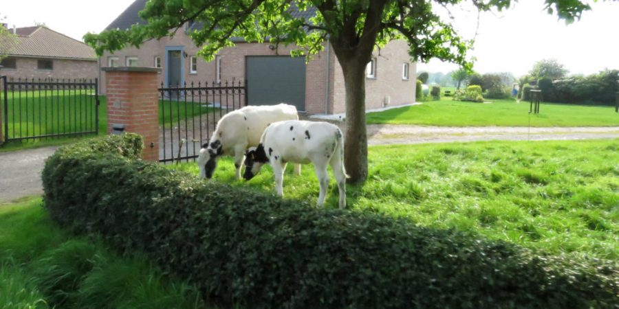 Cows in the front garden, that's a novel way to keep the grass cut.