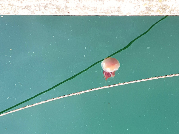 In Canada we were told their jelly fish only stung when they turned red. I won't be checking to see if that applies to this one.